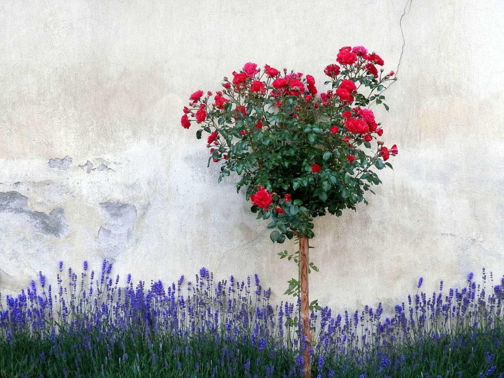 LAvendel und Rose an Wand