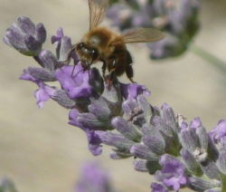 Lavendelblüte Lavendel Mit Biene