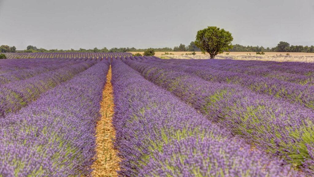 LAvendel in voller Blüte auf Feld