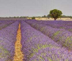 Lavendelfeld In Voller Blüte