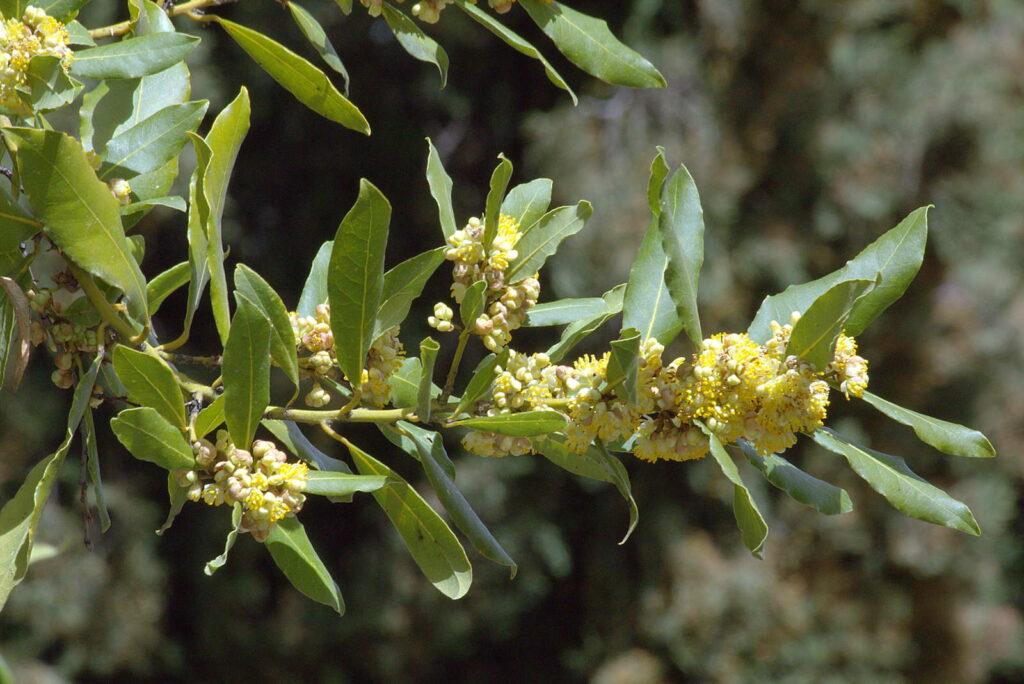 Lorbeer in Blüte