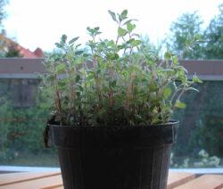 Oregano Im Topf Anpflanzen Auf Der Fensterbank