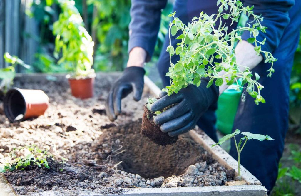 Oregano pflanzen ins Beet garten
