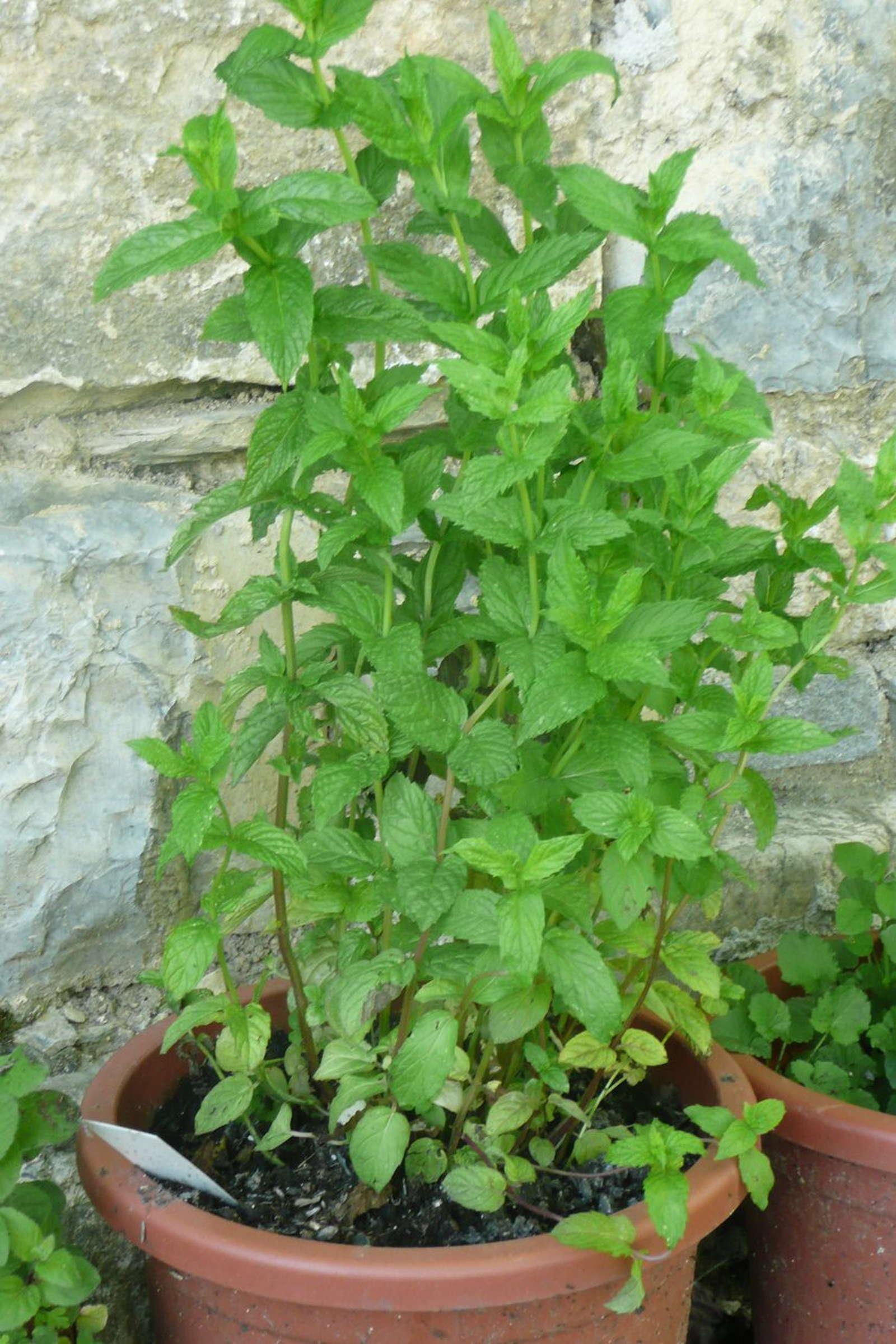 Minze Das Aromatische Heilkraut Im Eigenen Garten Plantura