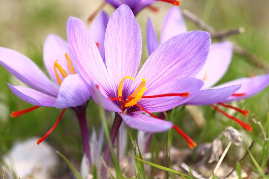 Safran Blüten in der sonne