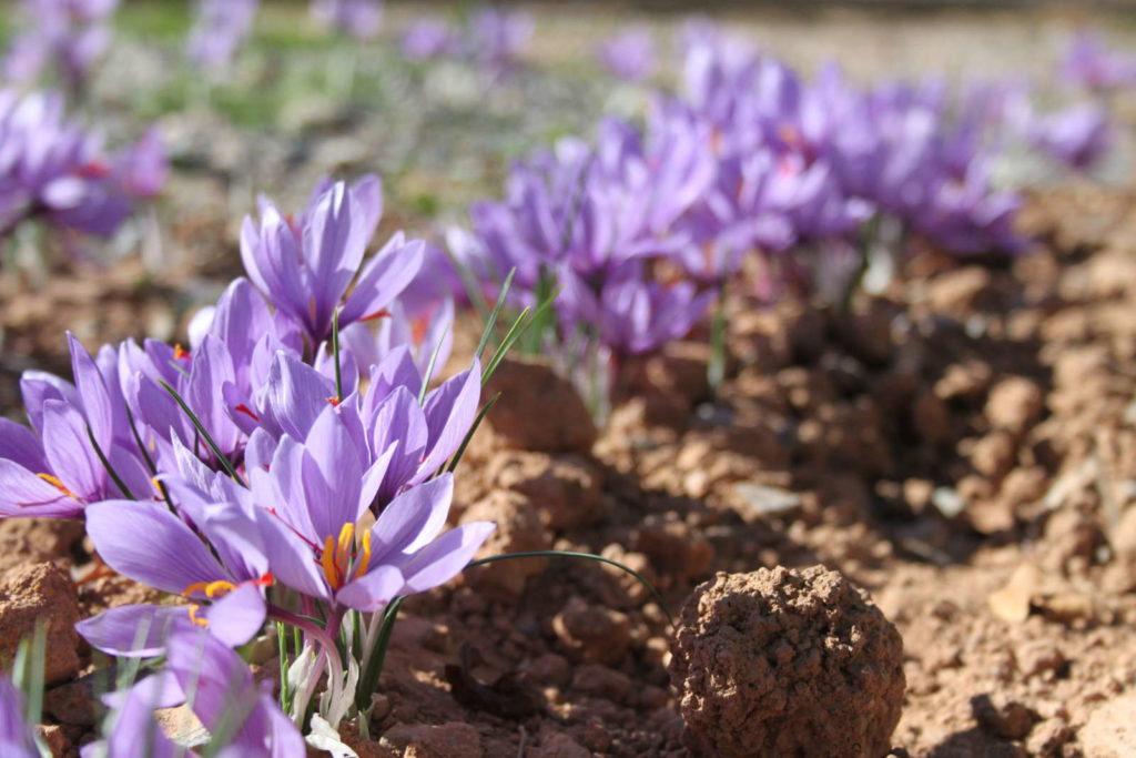 Safran Blüten auf dem Feld