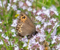 Schmetterling Auf Thymian Im Garten