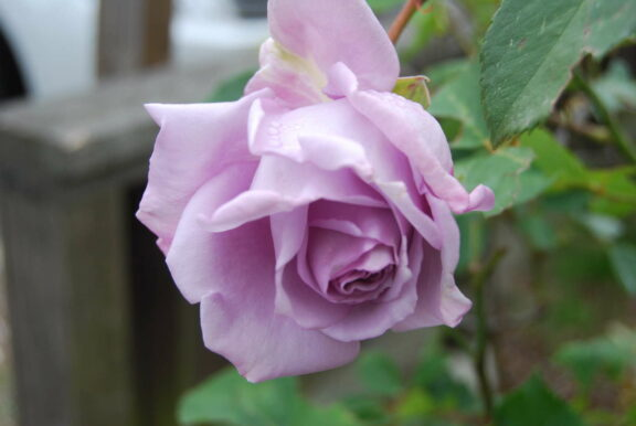 Morbide Rosen: auf besondere Weise schön