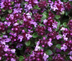 Thymian Blüte (Thymus Nervosus)