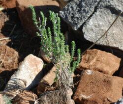 Thymus Capitata