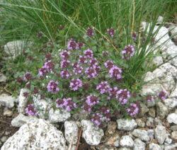 Thymus serpyllum flach