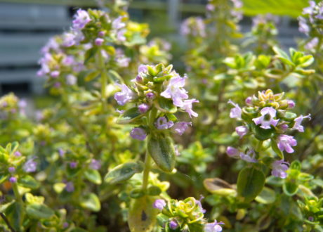 Blüte Thymian Zitronenthymian Im Garten