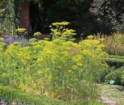blühender Dill im Garten