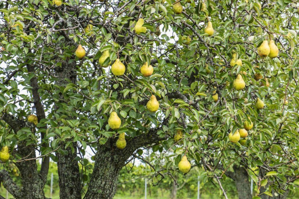 Boscs-Flaschenbirnen auf dem Baum