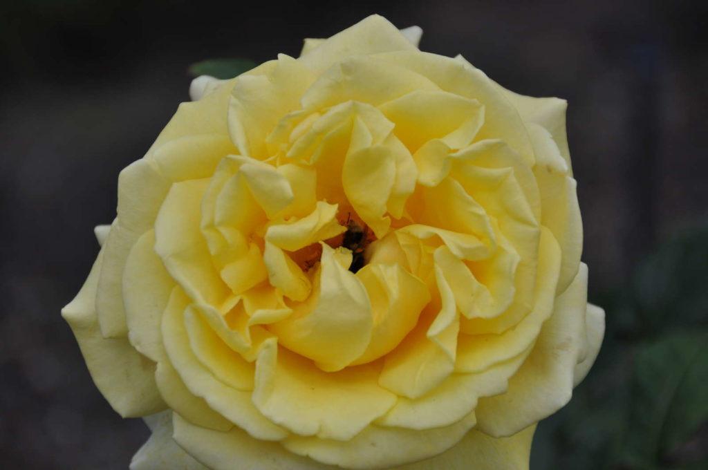 Diamonds Forever morbide Rose