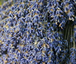 Getrockneter Lavendel Nah