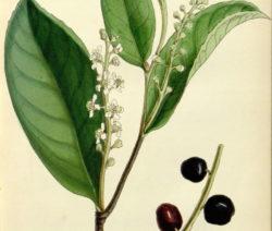 Kirschlorbeer Giftig Botanik