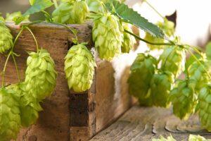 Hopfen: Die Pflanze des Bieres selbst anbauen