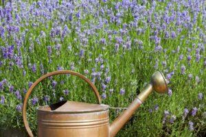 Lavendelfeld Mit Gießkanne