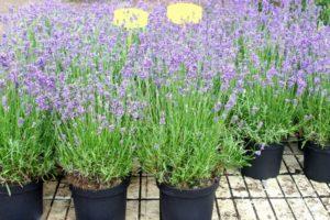 Lavendel In Runden Töpfen