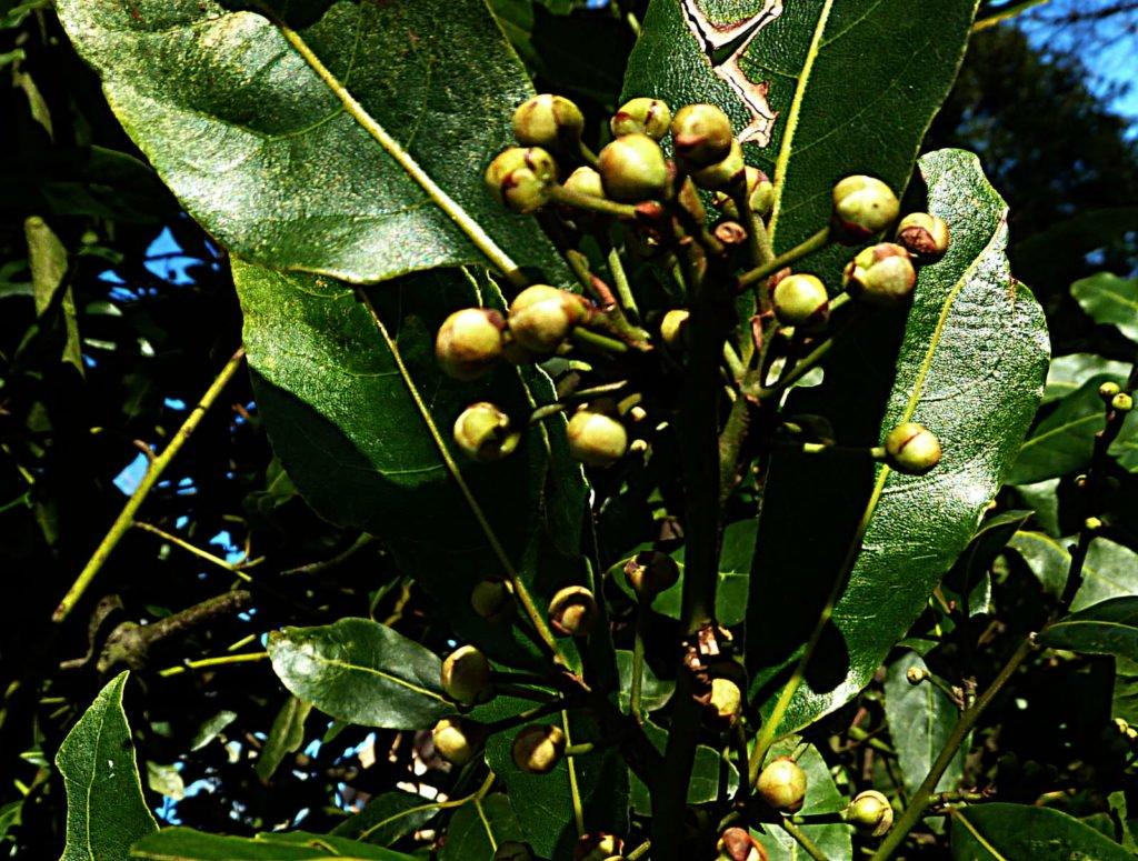 Lorbeer mit ansetzenden Früchten