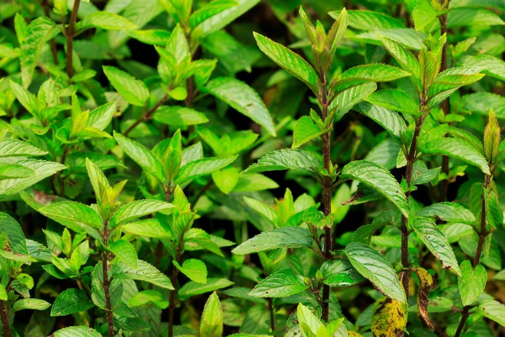 Pfefferminz-Pflanzen im Garten