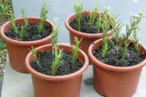 Rosmarin schnell und einfach selbst vermehren
