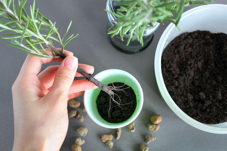 Rosmarin-Steckling umpflanzen