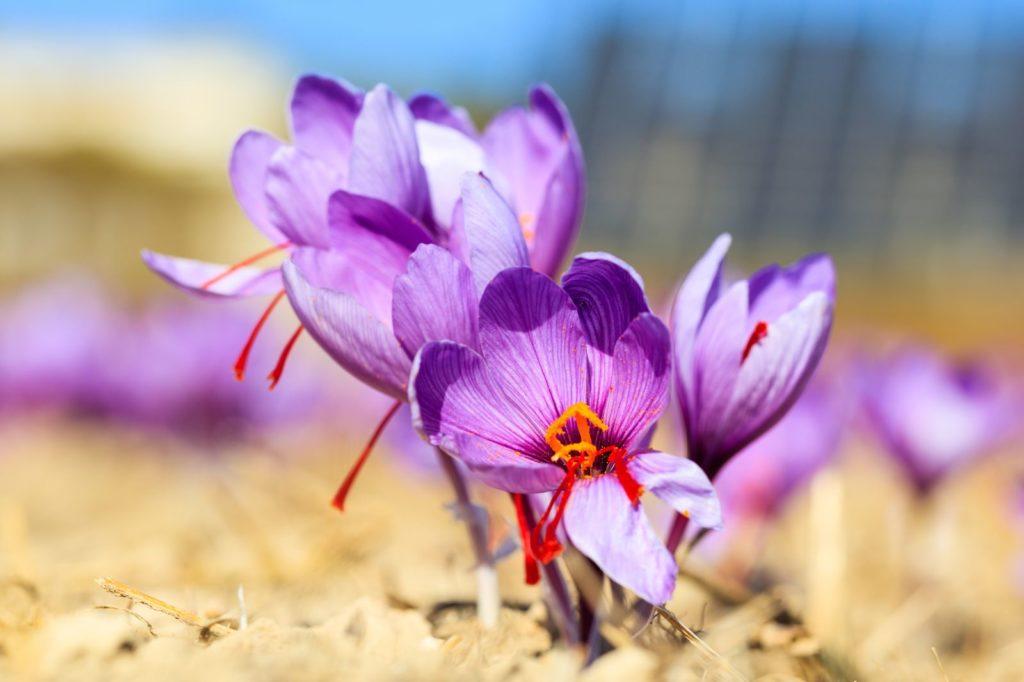Safran-Blumen an einem sonnigen Standort