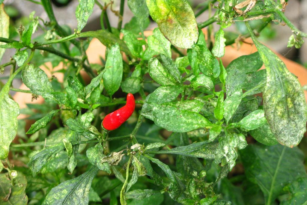 Chilipflanze mit Thripsen befallen