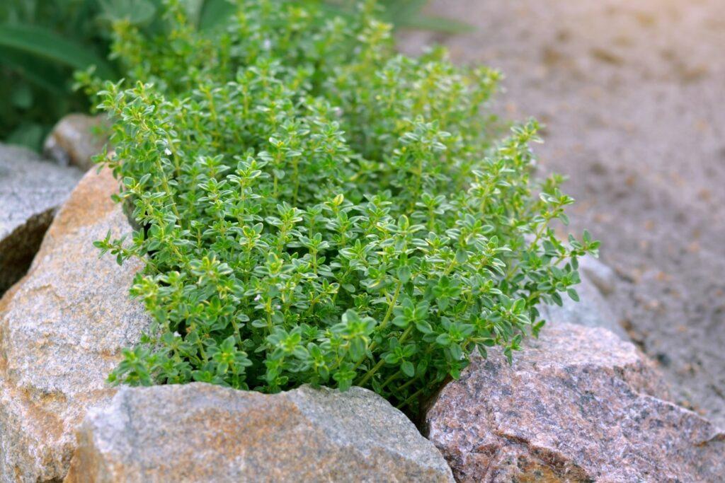 Thymian-Anbau im Garten