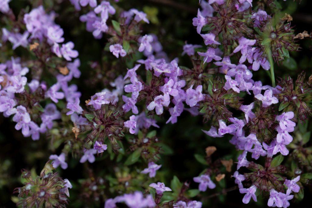 Thymus Herba Barona