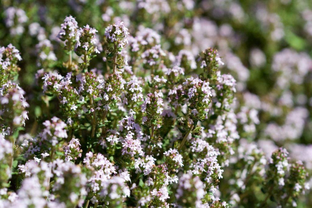 Thymus-Vulgaris-Blüte