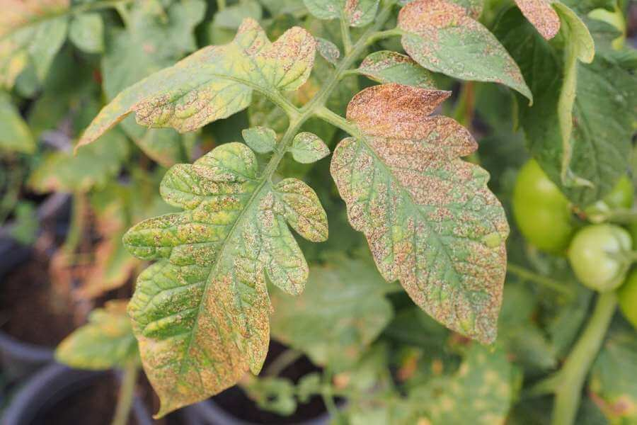 Tomatenpflanze mit Virus