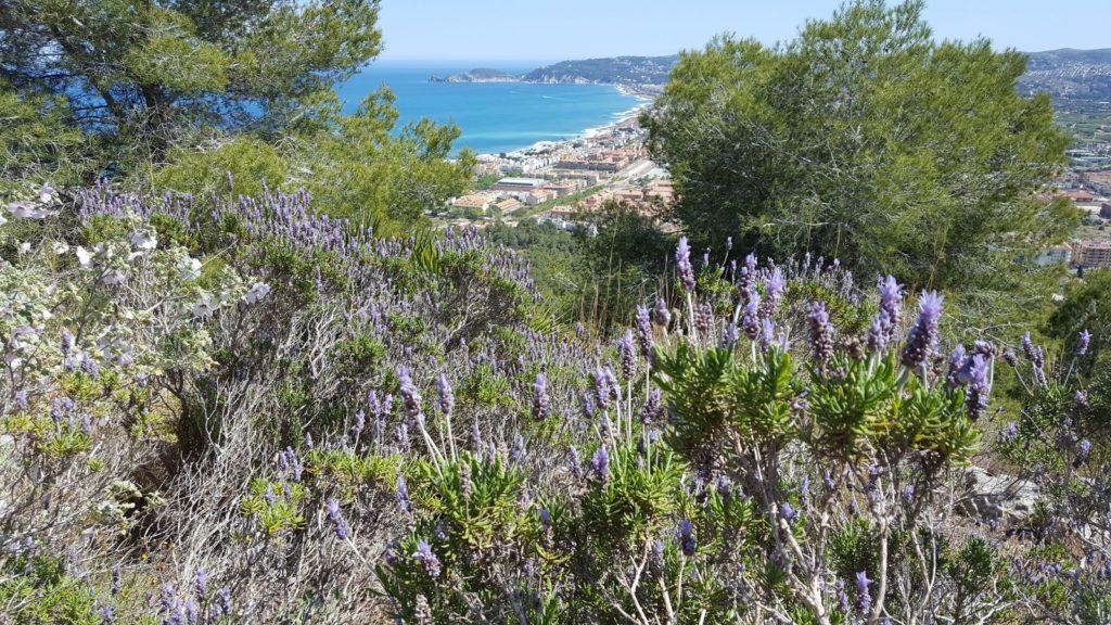 verholzter Lavendel