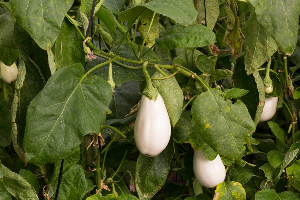 Weiße Auberginensorte