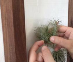 Tillandsien Luftpflanzen In Bilderrahmen Einspannen
