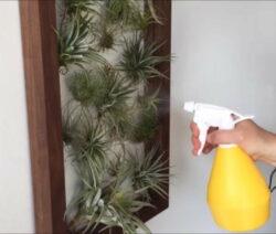 Wandbild Wandbegrünung Mit Lebenden Pflanzen Tillandsien Mit Wasser Besprühen