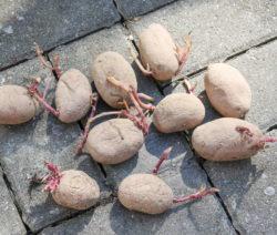 Kartoffeln Austreiben Im Topf Anbauen