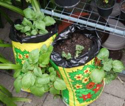 Kartoffel Im Garten Anbauen Im Pflanzsack