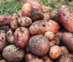 Rote Kartoffelernte Im Garten Richtig Lagern