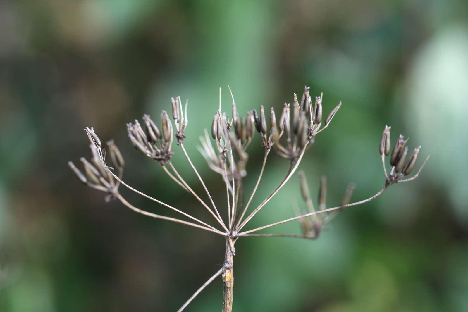 Kümmel Der Scharfe Samen Aus Dem Eigenen Garten Plantura