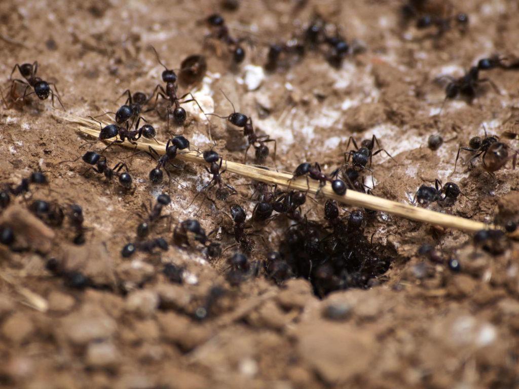 Ameisen vor Ameisennest im Garten