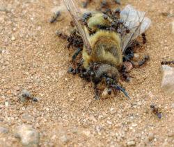Ameise Mit Biene Als Beute