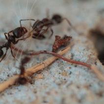 Ameisen Beim Samentransport
