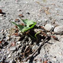 Ameisen Beim Blatttransport