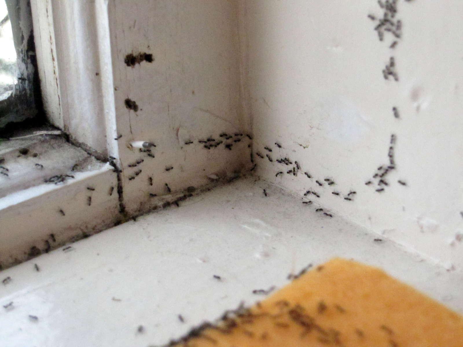 ameisen im haus und garten nat rlich mit hausmitteln bek mpfen plantura. Black Bedroom Furniture Sets. Home Design Ideas