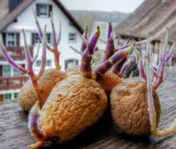 Kartoffel Austreiben Auf Fensterbank Im Garten Anbauen