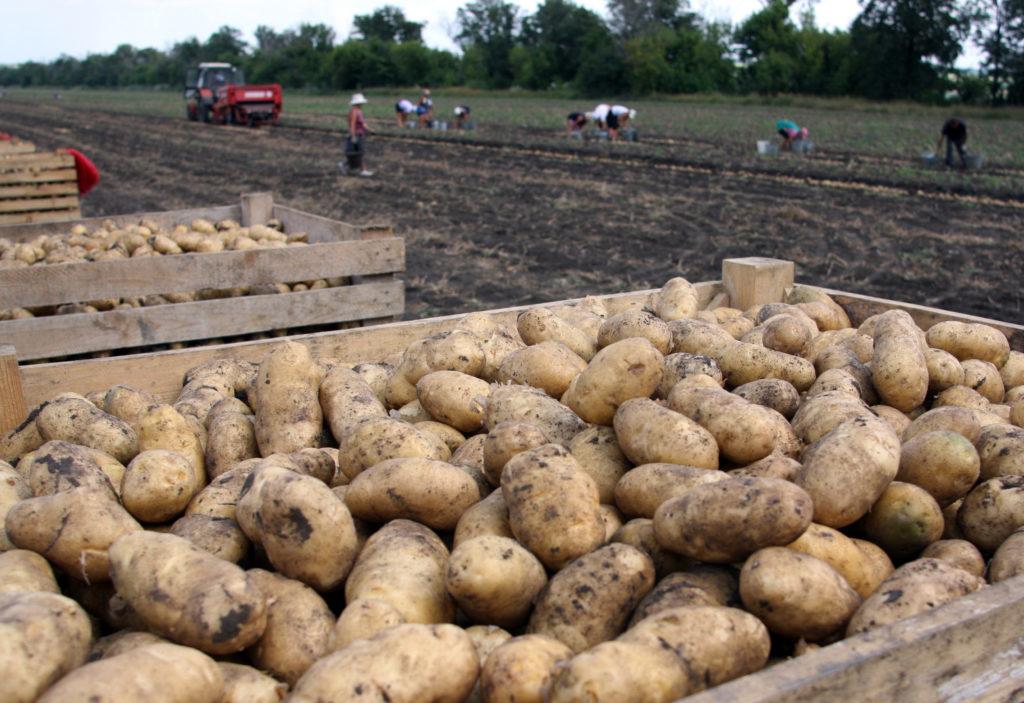 frisch geerntete Kartoffeln sollten kurz abtrocknen