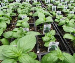 Basilikum Jungpflanzen Im Topf Anpflanzen